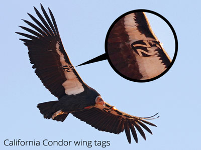california condor wing tags