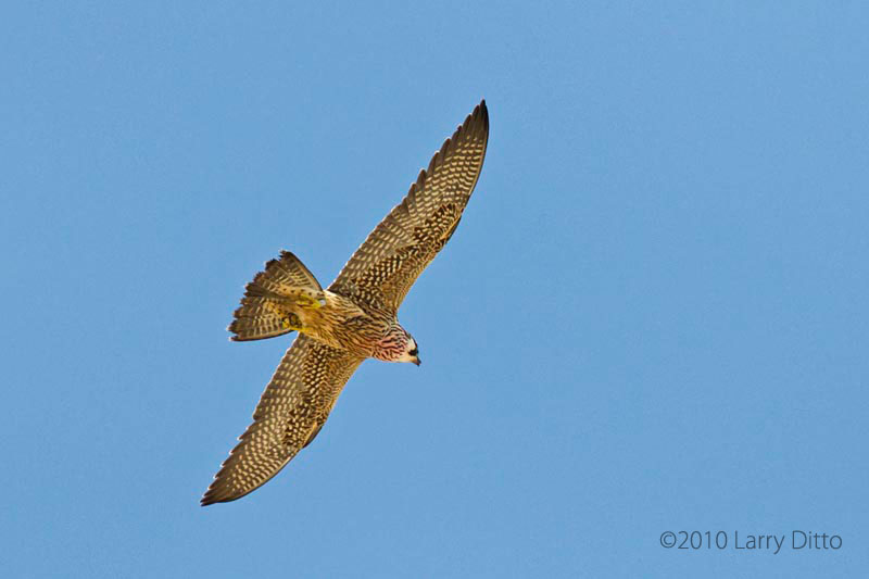 Peregrine Falcon Falco Peregrinus In Explore Raptors