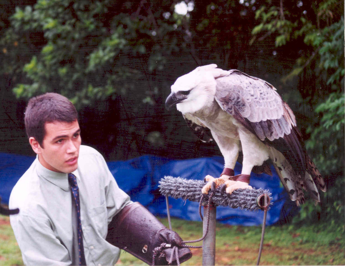 Harpy Eagle Harpia Harpyja In Explore Raptors Facts