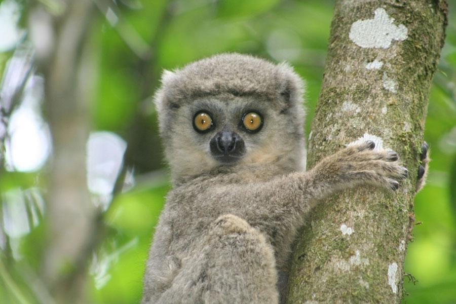lemur research paper