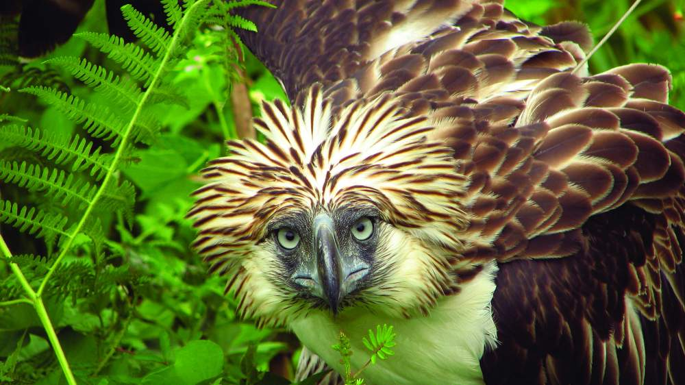 Philippine Eagle Conservation The Peregrine Fund