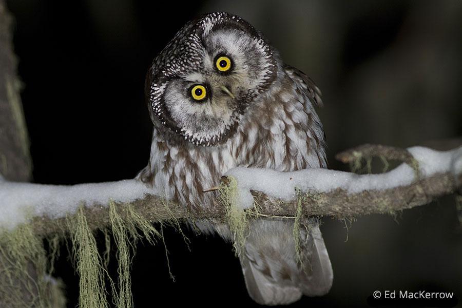 Boreal Owl (Aegolius f...