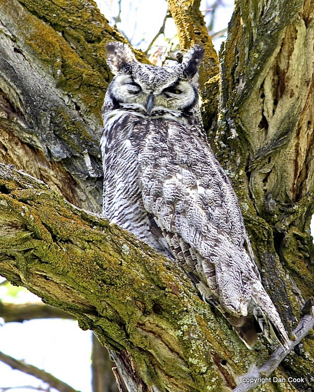 Great horned owl size