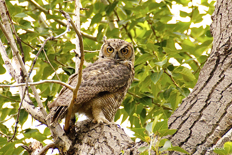 Great Horned Owl (Bubo...