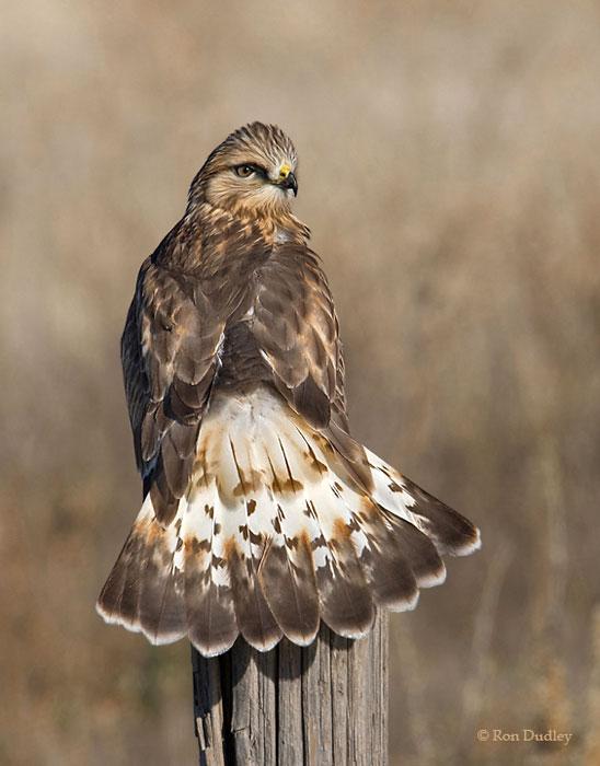 Rough-legged Hawk (Buteo lagopus) in Explore Raptors ...