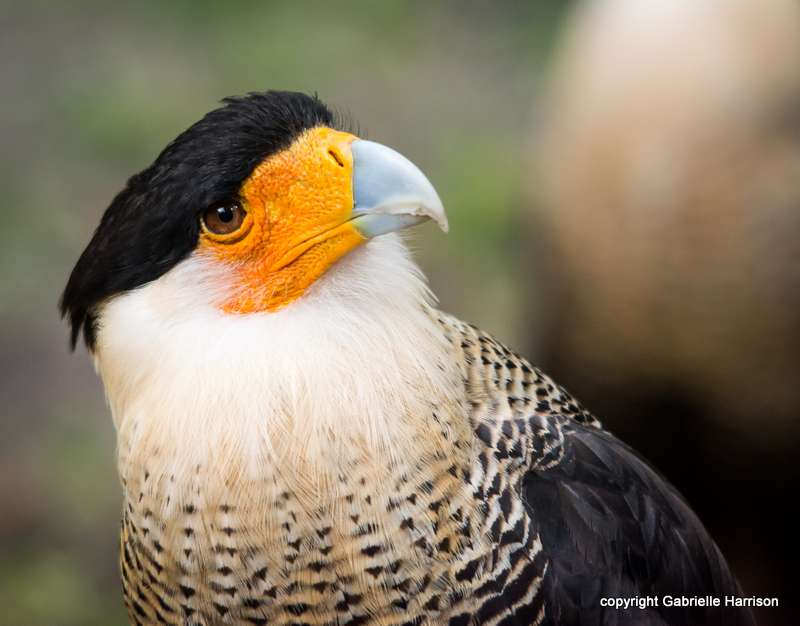 Crested Caracara Cheriway In Explore Raptors Facts