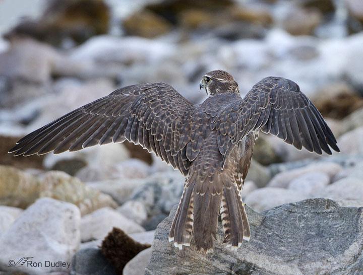 Prairie Falcon Falco mexicanus in Explore Raptors Facts