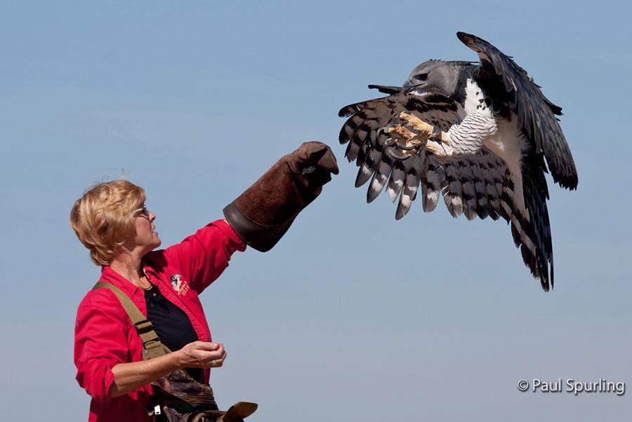 Harpy Eagle Harpia Harpyja In Explore Raptors Facts Habitat Diet The Peregrine Fund