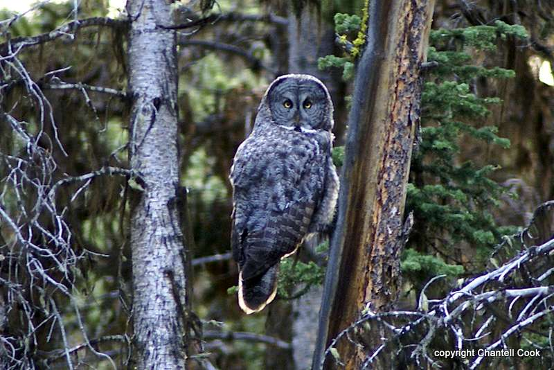Great gray owl strix nebulosa in explore raptors facts for What owls look like without feathers