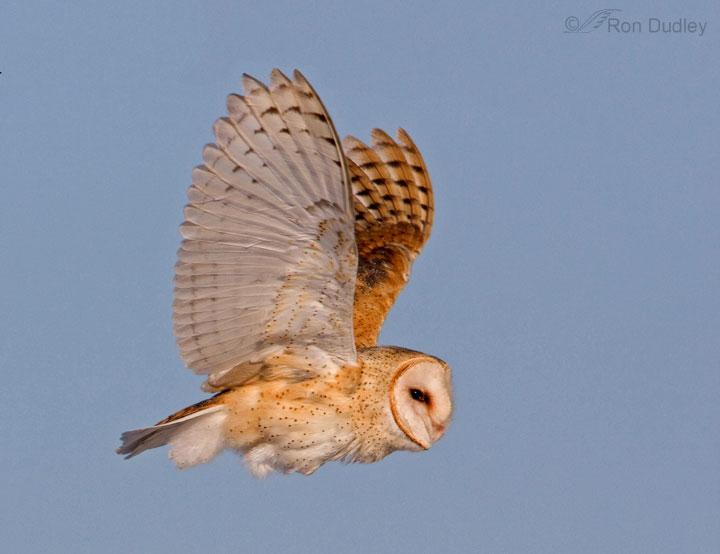 Barn Owl Tyto Alba In Explore Raptors Facts Habitat