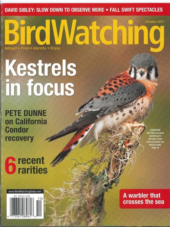 Bird Watching Kestrels in Focus