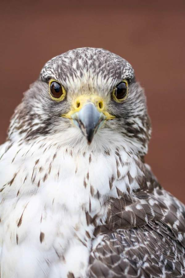 Gyrfalcon Conservation Project   The Peregrine Fund