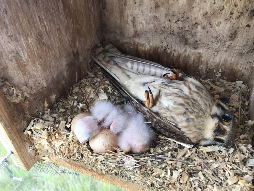 Installing Amp Monitoring A Nest Box American Kestrel