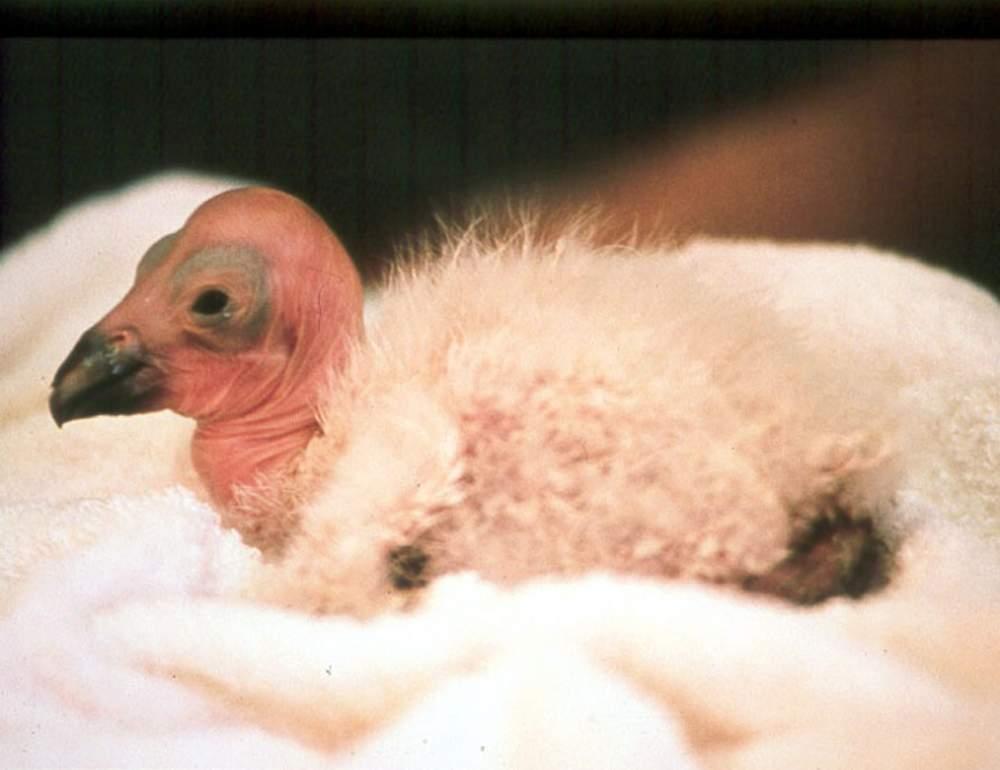 California Condor Restoration