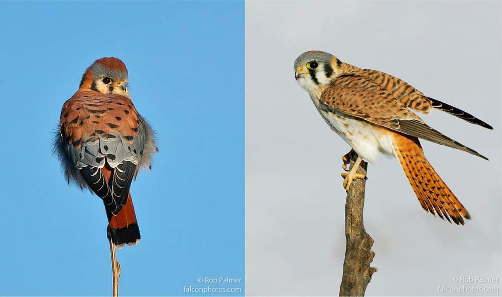 male female american kestrel