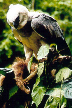 Harpy Eagle (Harpia harpyja) in Explore Raptors: Facts ...