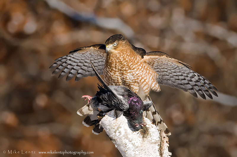 Whats For Lunch Asked Coopers Hawk >> The Peregrine Fund