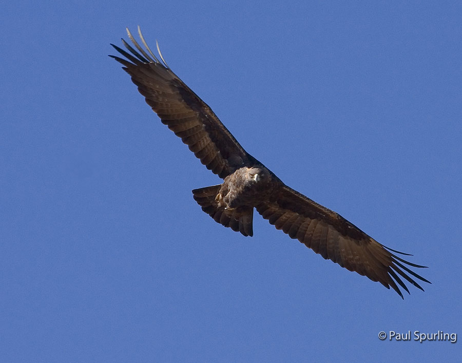 Soaring Golden Eagle Golden Eagle (Aquila c...