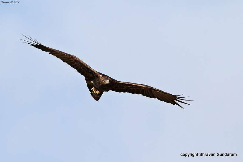 Golden Eagle Aquila Chrysaetos In Explore Raptors Facts