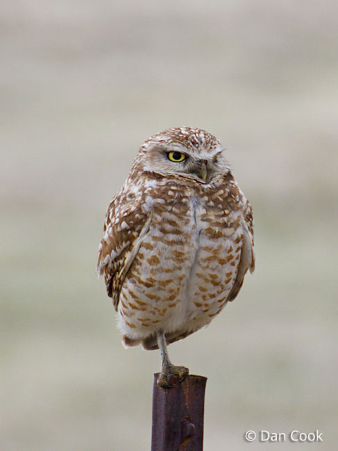 Burrowing Owl (Athene ...