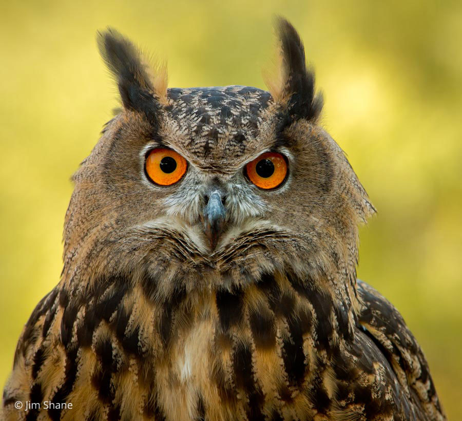 Image result for eagle owl