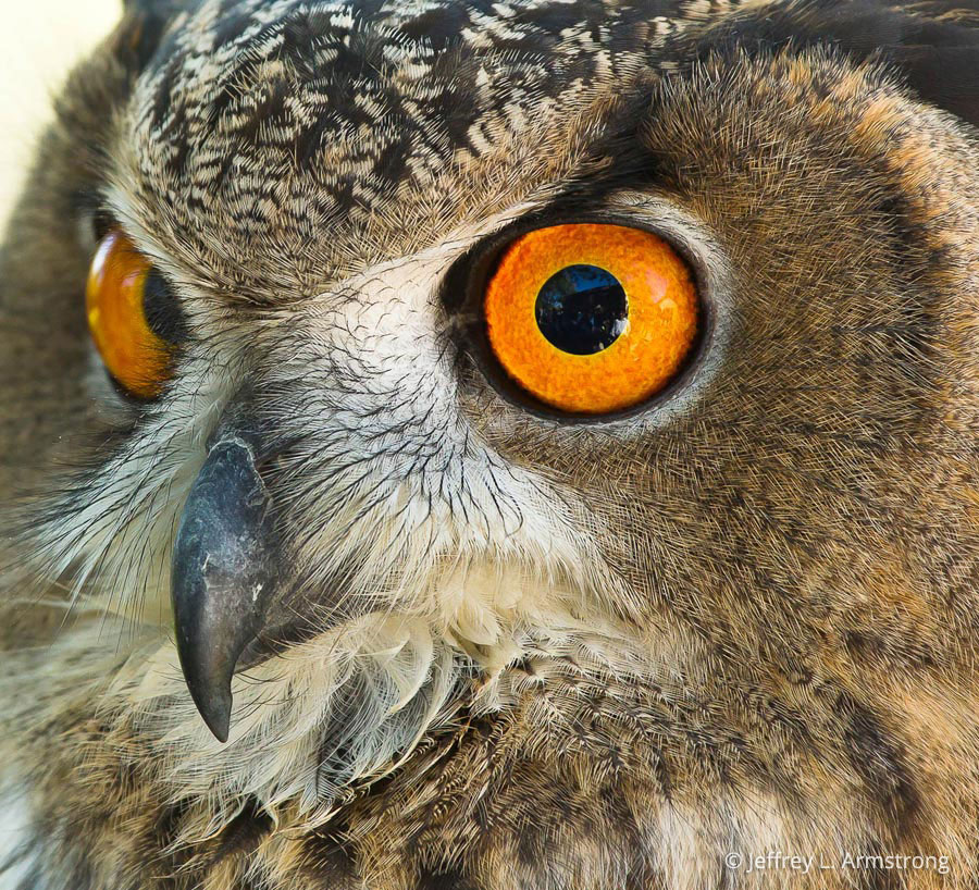 Eurasian Eagle-owl (Bubo Bubo) In Explore Raptors: Facts, Habitat, Diet