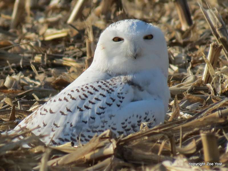 Snowy Owl Bubo Scandiacus In Explore Raptors Facts Habitat Diet