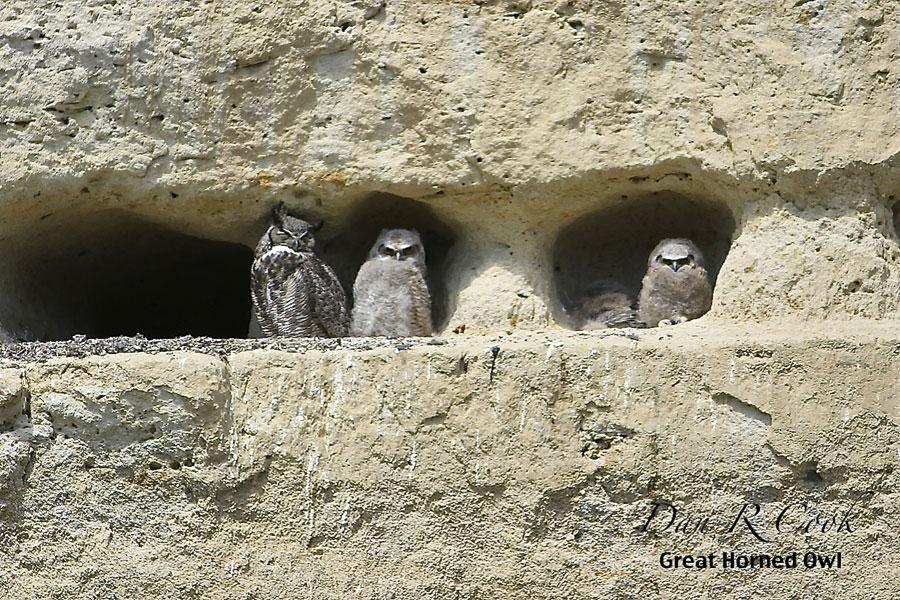 Great Horned Owl Bubo Virginianus In Explore Raptors