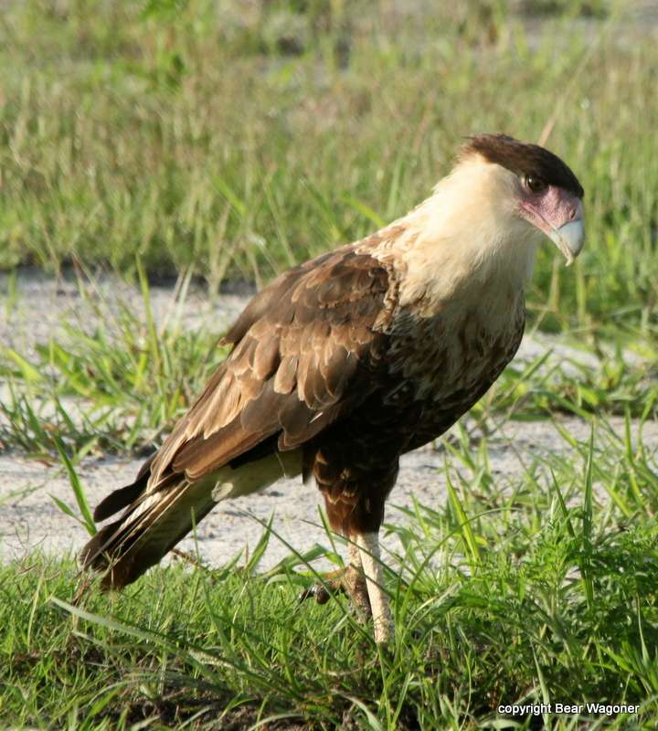 Crested Caracara Caracara Cheriway In Explore Raptors