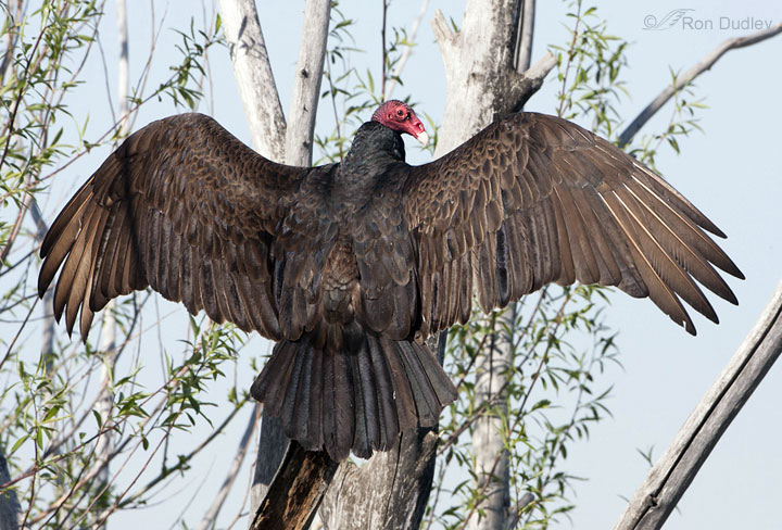 Turkey Vulture (Cathartes aura) in Explore Raptors: Facts ...