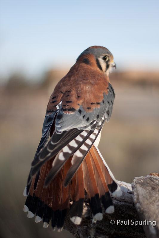 American Kestrel Falco Sparverius In Explore Raptors
