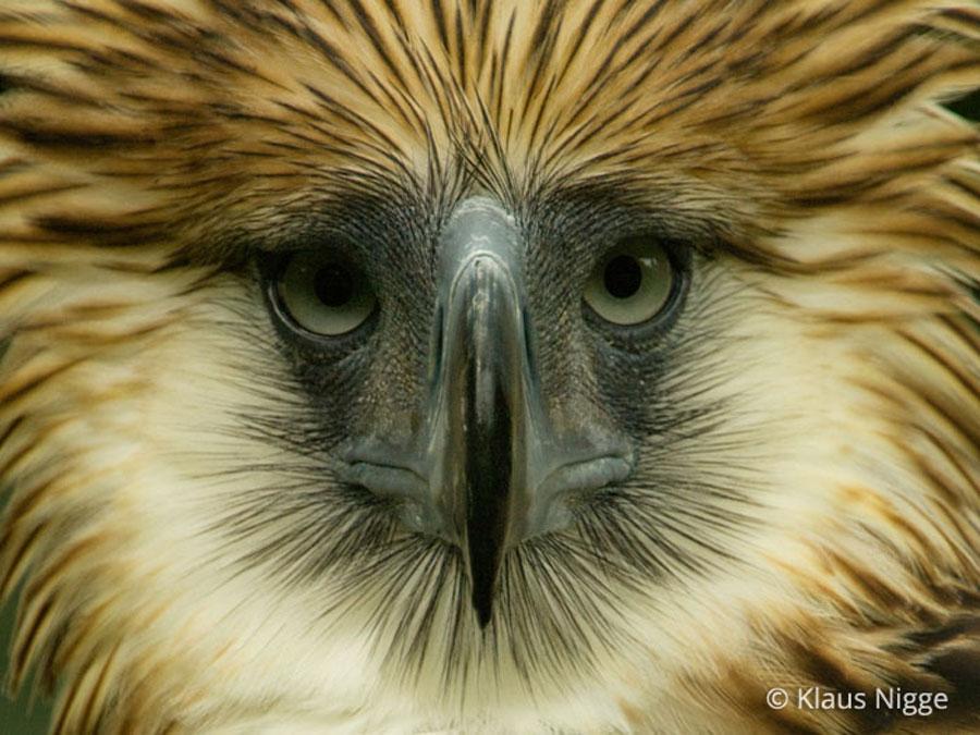 Philippine Eagle Pithecophaga Jefferyi In Explore