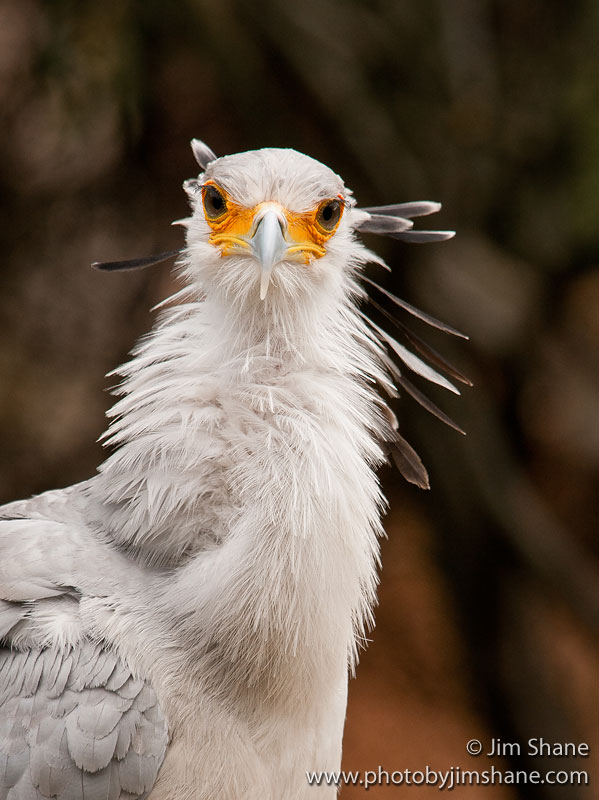 Secretarybird (Sagittarius serpentarius) in Explore ...